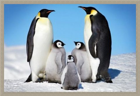 Framed Framed Penguin Harmony - Penguin Family