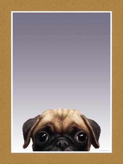 Framed Framed Pug - Inquisitive Creatures