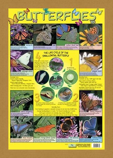 Framed Framed Butterflies - Life Cycle