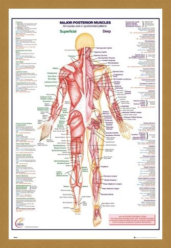 Framed Framed Major Posterior Muscles - Human Body