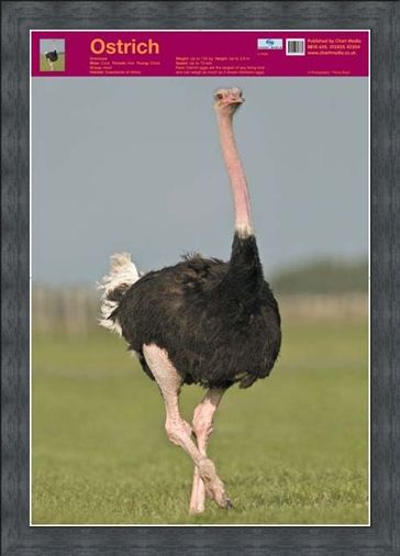 Framed Framed Ostrich - Wildlife Fun Facts