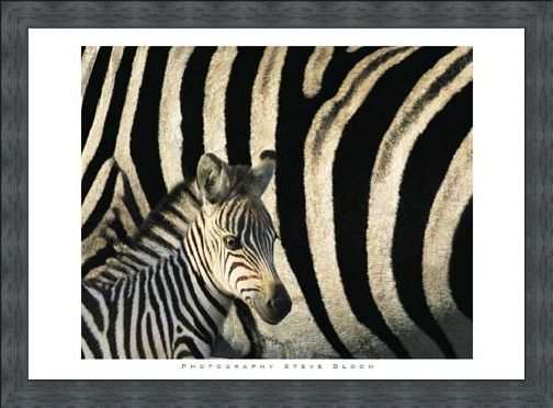 Framed Framed Zebra Stripes & Foal - Steve Bloom
