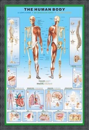 Framed Framed The Human Body and it's Organs - Human Biology