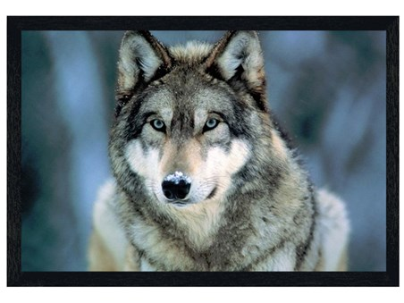 Black Wooden Framed Grey Wolf - Animal Photography
