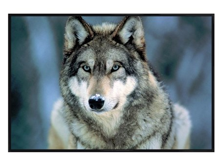 Gloss Black Framed Grey Wolf - Animal Photography Poster