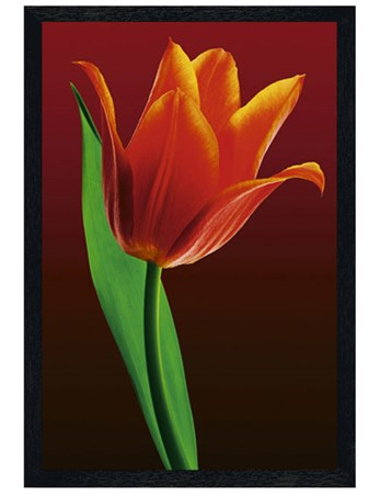 Black Wooden Framed Tulip on Red - A Single Tulip