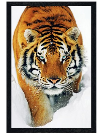 Black Wooden Framed Tiger in the Snow - Tiger Photo