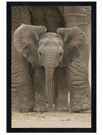 Black Wooden Framed Protected - Elephant Calf