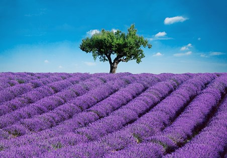 Provence - Purple Field