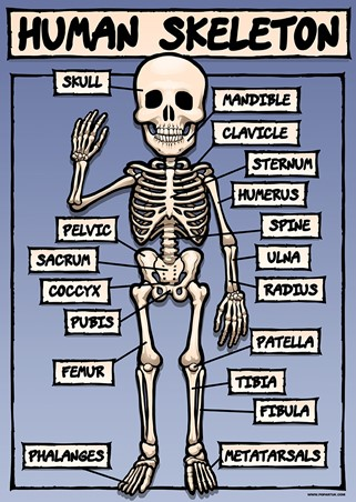 A boney but helpful hand - The Human Skeleton