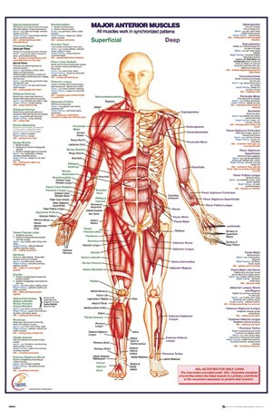 Framed Major Anterior Muscles - Human Body