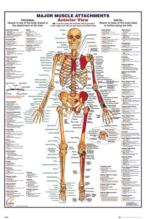 Major Muscle Attachments Anterior - Human Body