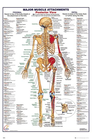 Major Muscle Attachments Posterior - Human Body