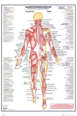 Framed Major Posterior Muscles - Human Body