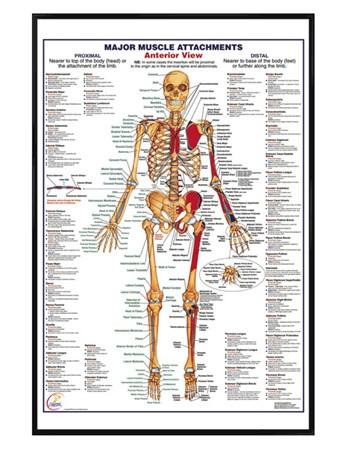 Framed Gloss Black Framed Major Muscle Attachments Anterior - Human Body