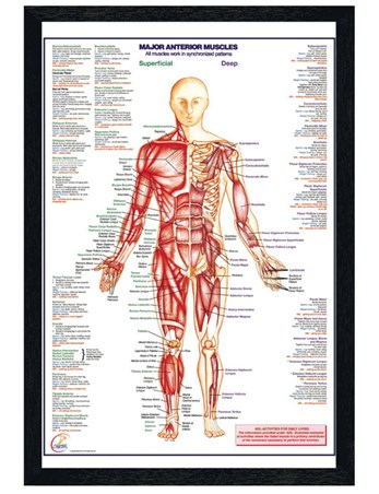 Black Wooden Framed Major Anterior Muscles - Human Body