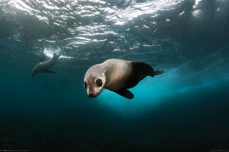 Diving The Depths - Australian Fur Seal