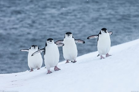 Framed Waddle This Way - Chinstrap Penguins