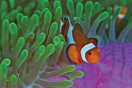 Framed Life In The Reef - Clownfish & Anemones