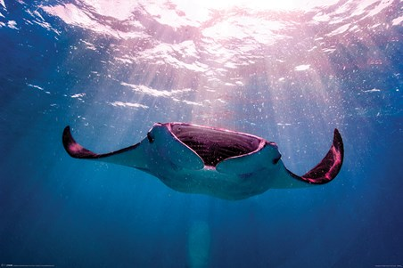 Manta Ray - Animal Photography