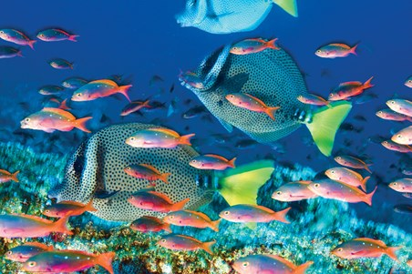 Yellow-Tailed Surgeonfish - Sealife
