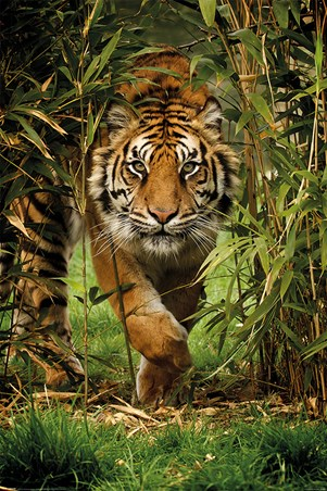 King Of The Jungle - Bamboo Tiger