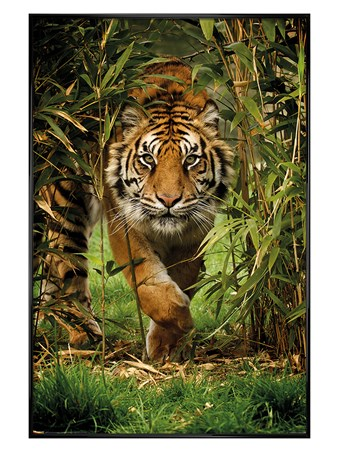 Gloss Black Framed King Of The Jungle - Bamboo Tiger
