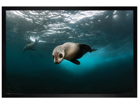 Black Wooden Framed Australian Fur Seal - Diving The Depths
