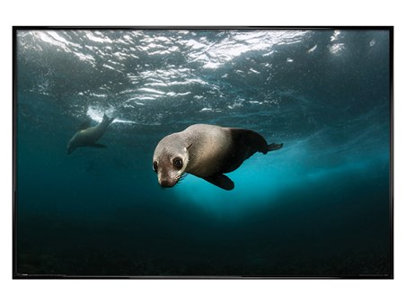 Gloss Black Framed Diving The Depths - Australian Fur Seal