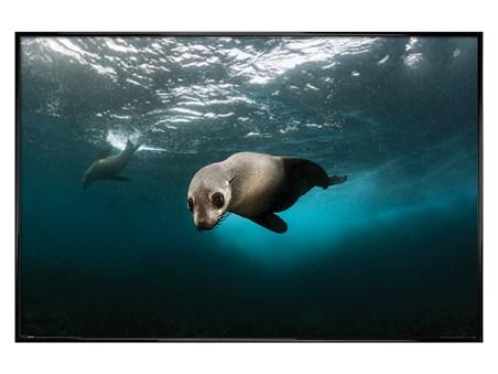 Framed Gloss Black Framed Diving The Depths - Australian Fur Seal