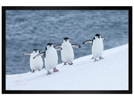 Black Wooden Framed Chinstrap Penguins - Winter Wonderland