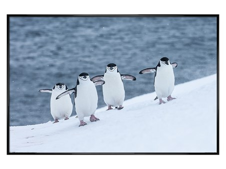 Gloss Black Framed Waddle This Way - Chinstrap Penguins