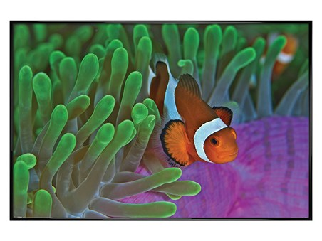Gloss Black Framed Clownfish & Anemones - Animal Photography