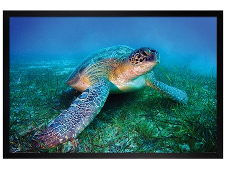 Framed Black Wooden Framed Loggerhead Sea Turtle -