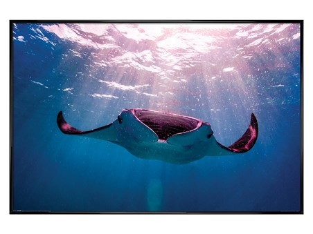 Gloss Black Framed Manta Ray - Animal Photography