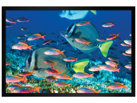 Black Wooden Framed Yellow-Tailed Surgeonfish - Sealife