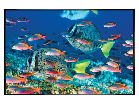 Gloss Black Framed Yellow-Tailed Surgeonfish - Sealife