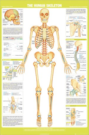 Chartex Anatomy Skeleton Poster