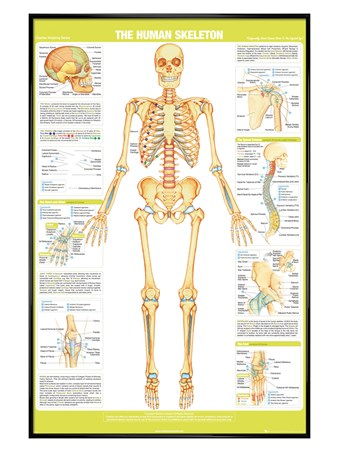 Gloss Black Framed Skeleton - Chartex Anatomy