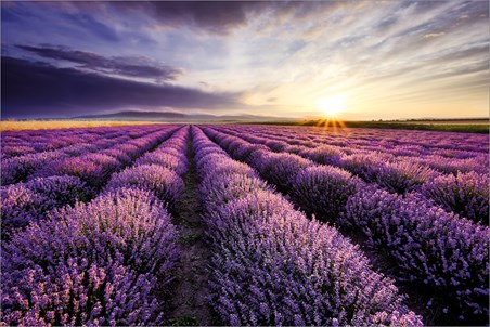 Lavendar Field - Purple Sunset