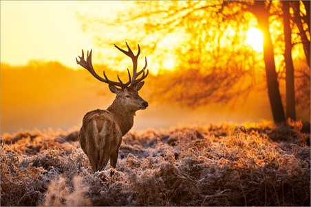 Golden Stag - Wildlife Wonders of The Sunrise