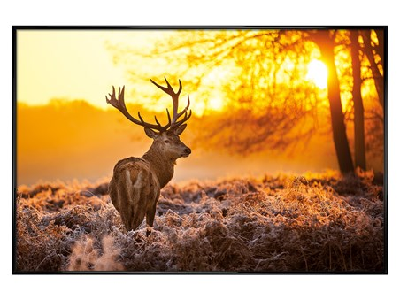 Gloss Black Framed Golden Stag - Wildlife Wonders of The Sunrise