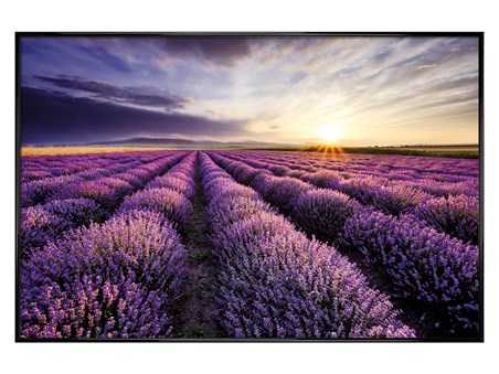 Gloss Black Framed Lavender Field - Purple Sunset