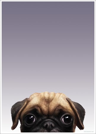 Pug - Inquisitive Creatures