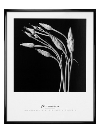 Gloss Black Framed Lizzianthus - Richard McConnell
