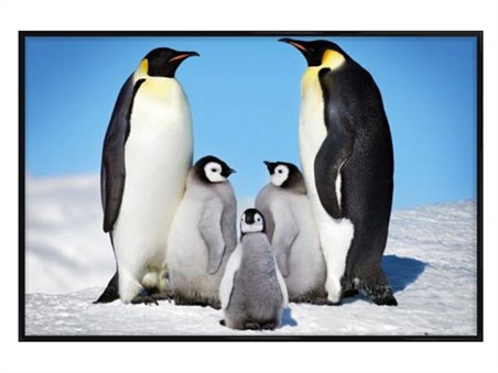 Gloss Black Framed Penguin Harmony - Penguin Family