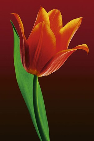 Fiery Reds and Oranges - A Single Tulip