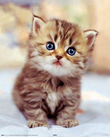 Cute Little Kitten - Keith Kimberlin