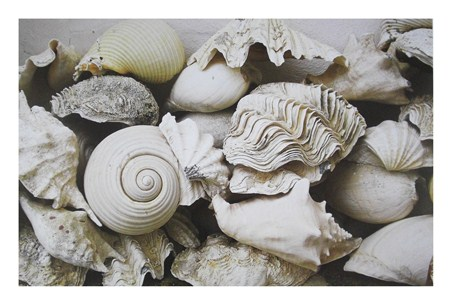 Still Life with Shells - Rene and Barbara Stoeltie