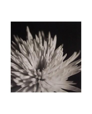 Chrysanthemum - Michael Banks